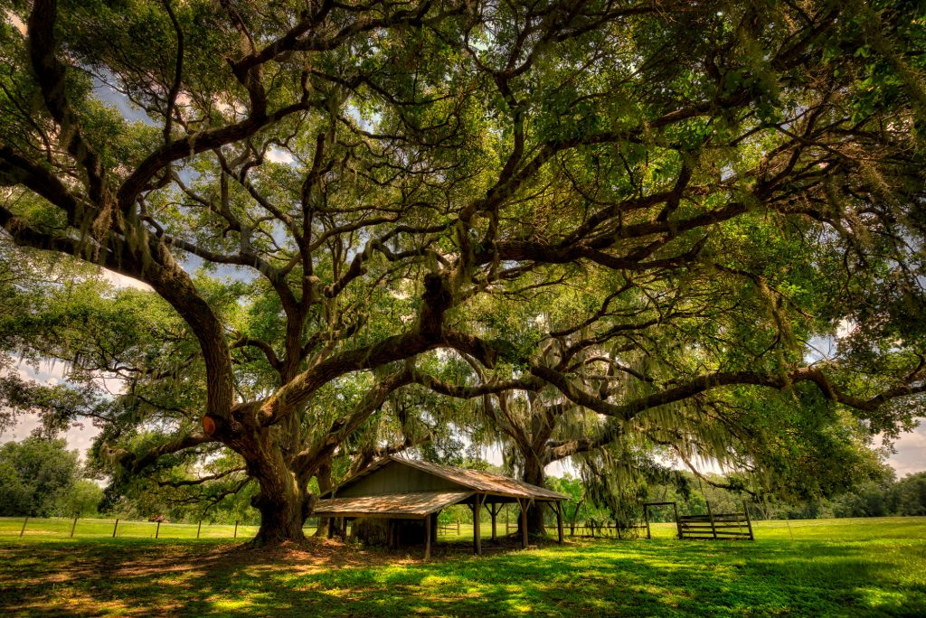 Winter Garden's Famous Oak Trees at Tucker Recreational Park and Nature Preserve